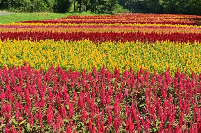 ウモウゲイトウの大規模な花畑は近年よく見かけるようになりました