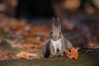 エゾリスが冬支度。秋に木の実を埋めて保存。冬の食糧