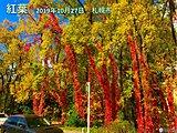 いよいよ紅葉シーズン! 葉を紅く染める最高の気象条件は? キーワードは「最低気温8度」