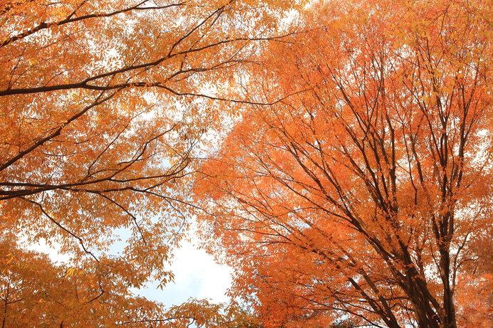 紅葉するのはどの木?錦秋はあなたのすぐそばに!身近な紅葉を楽しもう《その1》