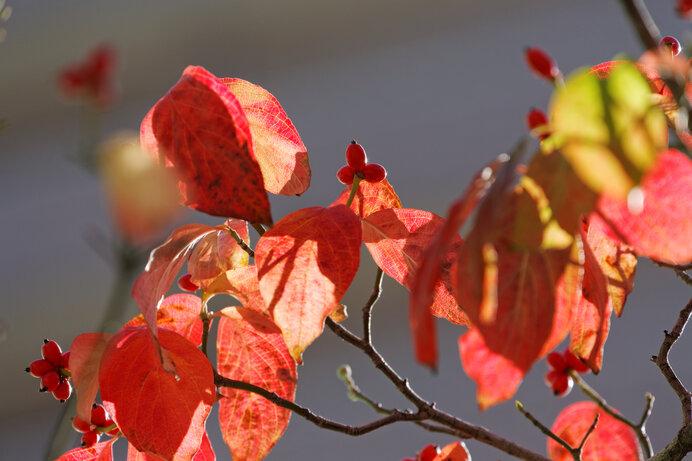 ハナミズキの深紅の紅葉。朱色の実とのセッションが見所です