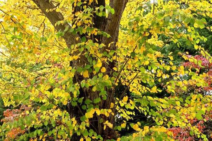 カツラの黄葉。カツラの落ち葉が積もった場所では、おいしそうな匂いが漂います