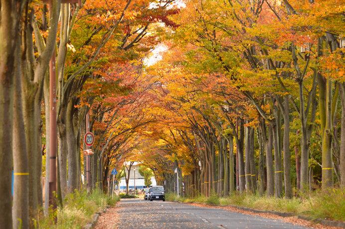 ケヤキ並木の紅葉。団地文化と同期した戦後の原風景の一つ