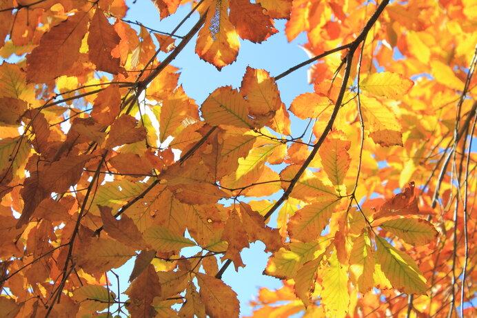 雑木林を彩るコナラの紅葉