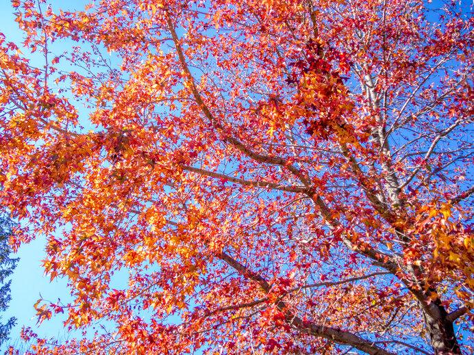 目が覚めるような紅葉を見せるモミジバフウは、多くの地域で見られます