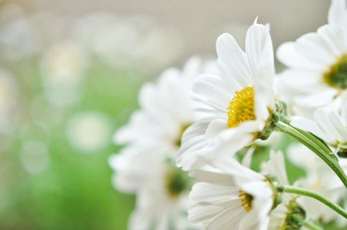 身近な秋の花 1.<洋菊>