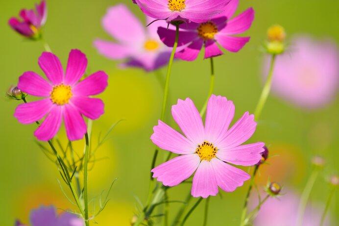 身近な秋の花 2.<コスモス>