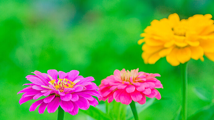 身近な秋の花 4.<ジニア>