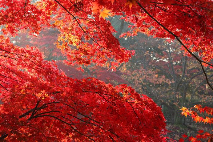 空間を紅でくくるオオモミジの紅葉。カエデの紅葉はやはり格別です