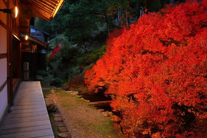 ドウダンツツジの燃えるような紅葉。晩秋の下生えを彩ります