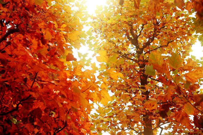 ユリノキの黄葉。輝きの中にある染みるような寂寥感
