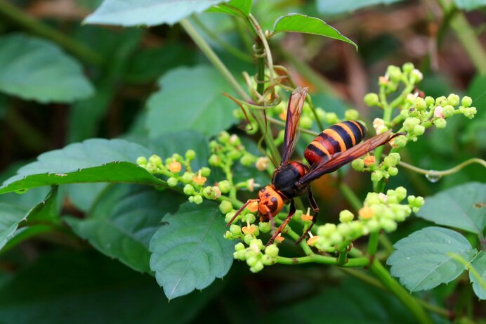 ヤブカラシの花に吸蜜に訪れたスズメバチ。危険なイメージですが益虫なのです