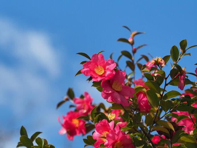 青空と山茶花