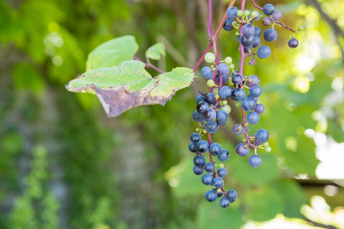 ヤマブドウ。かつてはこの実の色を「葡萄(えび)色」と呼びました