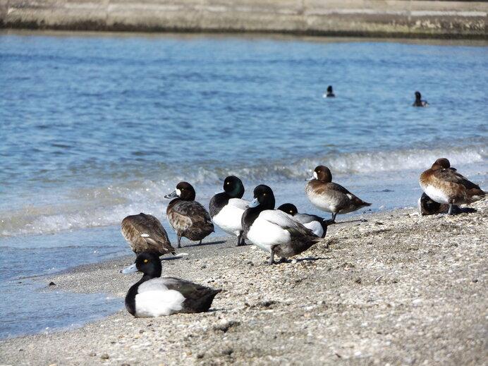 海岸で一休みするスズガモたち。東京湾など内湾では、スズガモたちの大集団が見られます