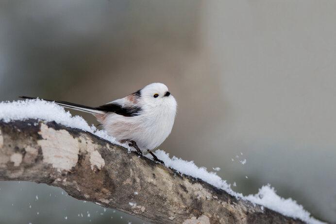 雪国で愛でられるシマエナガ