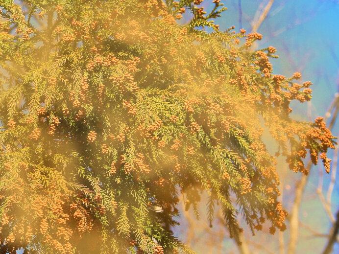 2021年春の花粉は去年より多い! 原因は前年夏の天候にありました