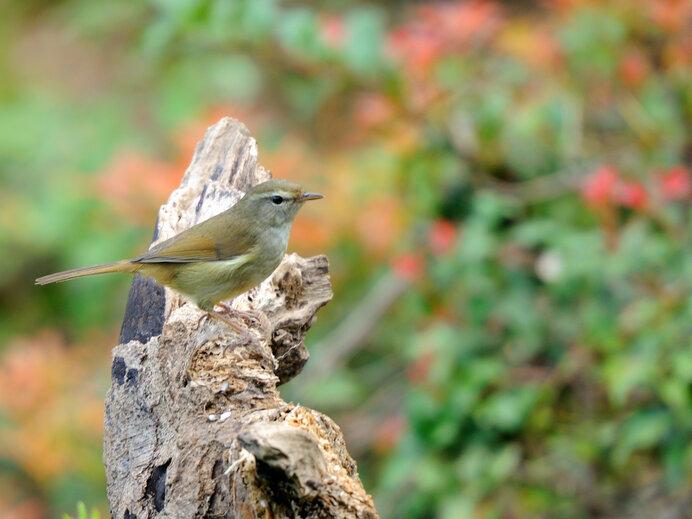 春告げ鳥の別名を持つ鶯
