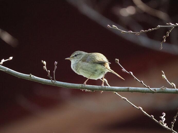 新芽の枝にとまる鶯