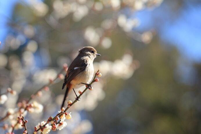 「梅に鶯」お馴染みの取り合わせ