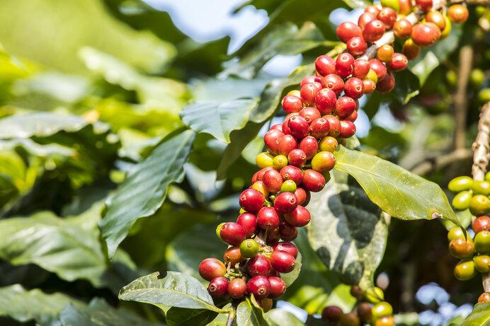 コーヒー発祥の地は、人類発祥の地と同じ?
