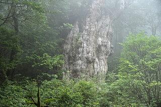 スギ花粉症の季節。あえて偉大なる樹木「スギ」について理解を深めてみませんか?