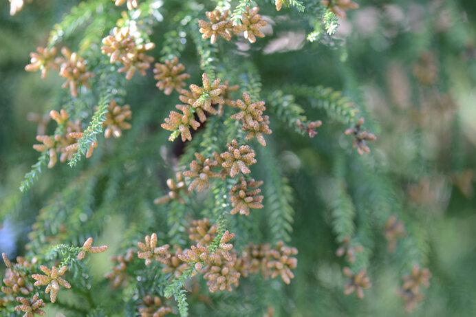 スギの雄花。日本人は長くこの花粉と共存してきたはずですが