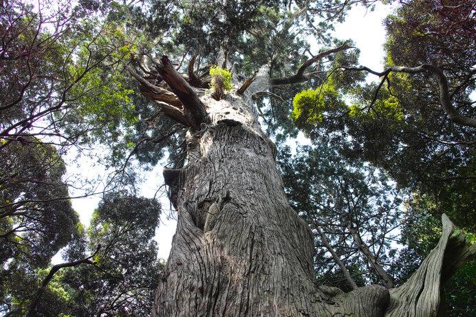 台方の大杉。日本各地に1,000年を優に超す大杉が生きています