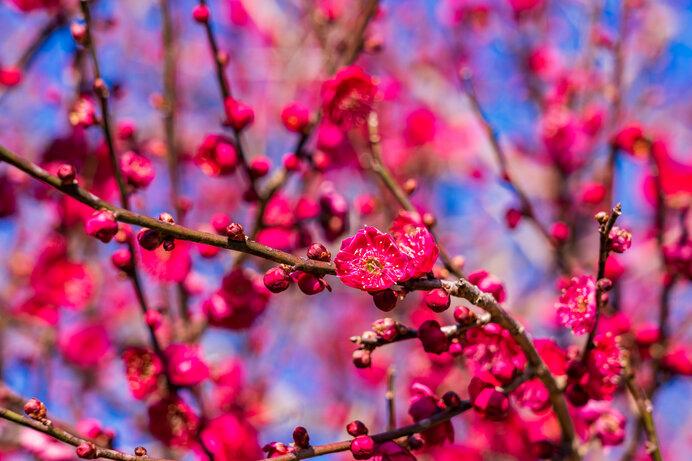 梅は春の喜びをあらわす花~平安前後の和歌に見られる梅~_画像