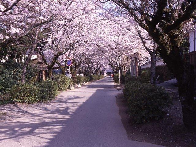 歴史的な景観と桜のトンネル!夜桜も魅力/秋月杉の馬場通りの桜(福岡県朝倉市)