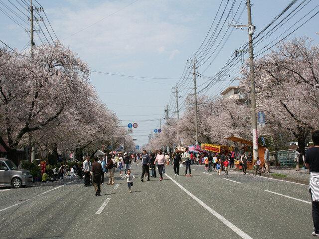 整然とした街並みを彩るソメイヨシノの道/健軍自衛隊通りの桜(熊本県熊本市)