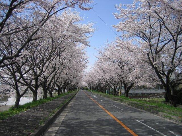 空を覆いつくす桜のトンネル!お花見散歩も楽しい/鍋田川堤桜並木(三重県桑名郡)