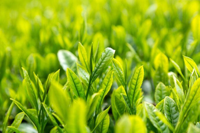 お茶は寒さに弱く新潟県村上市が北限とされています