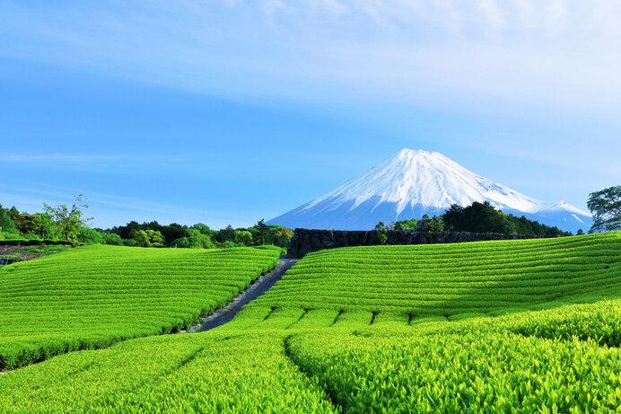 私たちが普段から飲んでいる日本茶のほとんどが「やぶきた」です