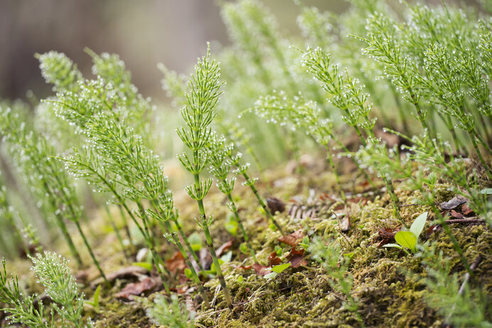 スギナは「栄養茎」。光合成して栄養分を調達する