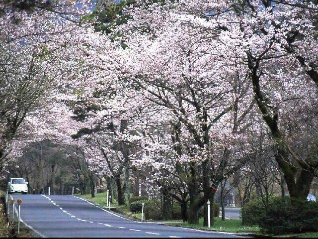 ドライブで楽しむ桜のトンネル!石碑が並ぶ散策路もおすすめ/萩原桜並木(鳥取県西伯郡)