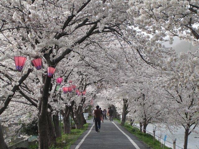 川に沿って続く雄大な桜並木!桜色のアーチが青空に映える/井原堤の桜(岡山県井原市)