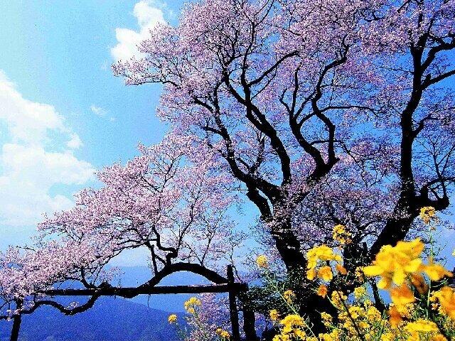 名の由来はつぼみの形!樹齢約500年の天然記念物/ひょうたん桜公園の桜(高知県吾川郡)