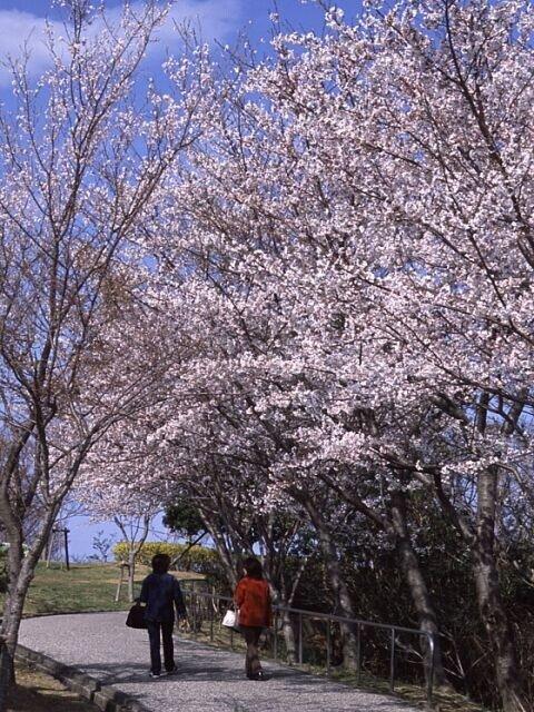 ドライブコースで山頂へ!万葉歌人にも愛された美しい山/眉山公園の桜(徳島県徳島市)