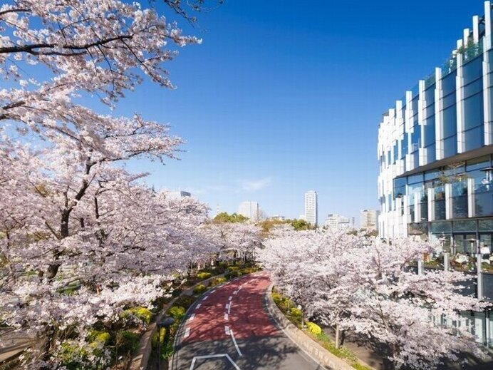 夜桜も美しい都会のドライブコース/東京ミッドタウンの桜(東京都港区)