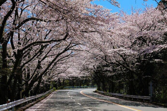 桜のトンネルを駆け抜ける感動/アネスト岩田 ターンパイク箱根の桜(神奈川県小田原市)
