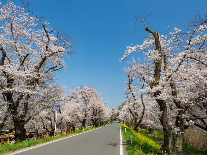 田畑を守ってきた堤の桜並木/城ヶ谷堤の桜(埼玉県北本市)