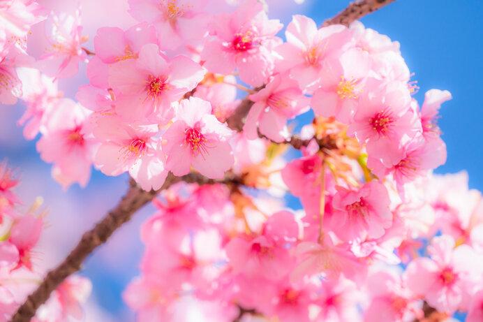 おうちお花見で春の訪れを楽しもう。