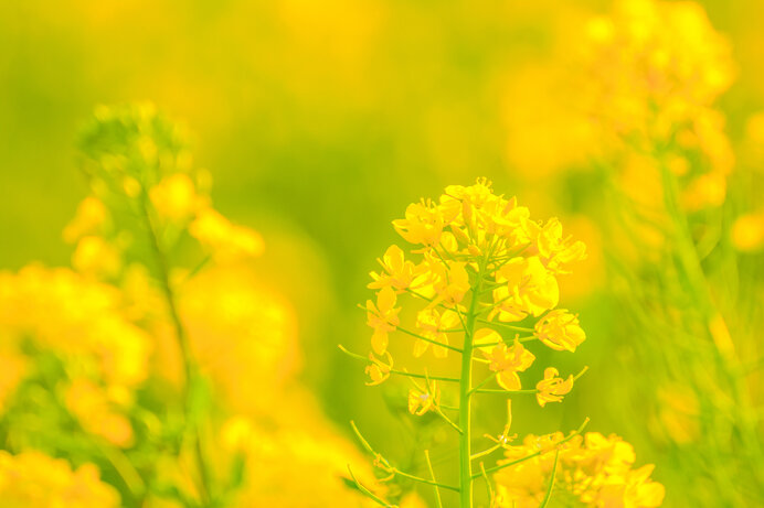 江戸時代までアブラナ、明治以降はセイヨウアブラナが採油用に栽培されています