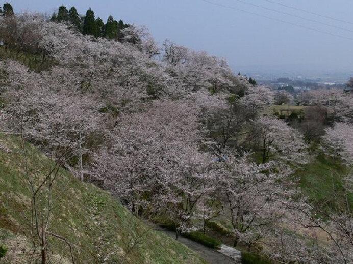 お花見トレッキングもおすすめ!桜に包まれた山へドライブ/城ヶ山公園の桜(富山県富山市)