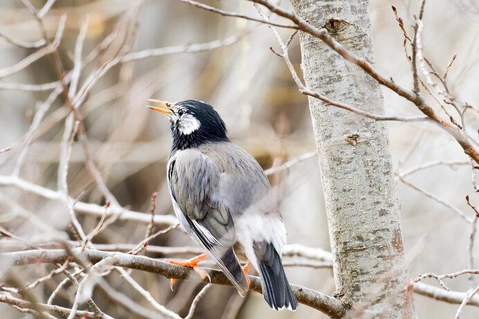 嫌われ野鳥のムクドリ。でもよく見るとなかなかかわいいと思いませんか?