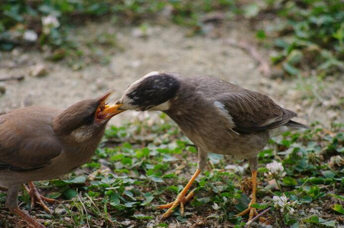 巣立ちしたての若鳥に餌を与える母鳥。春にかけて、ムクドリの育雛の様子が見られます
