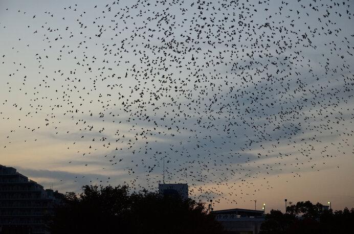 ムクドリの大集団の群飛。ムクドリがいなくなったら虫が大発生するかも?