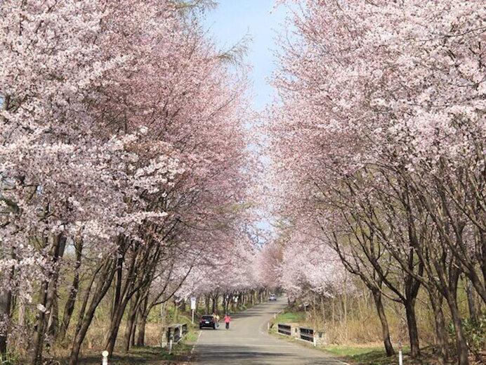 20km続くオオヤマザクラ!岩木山麓をお花見ドライブ/世界一の桜並木(青森県弘前市)
