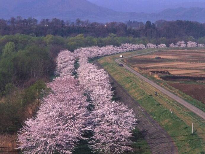 桜並木と鯉のぼり!堤防に上がれば目線の高さに桜が/雫石川園地の桜並木(岩手県岩手郡)